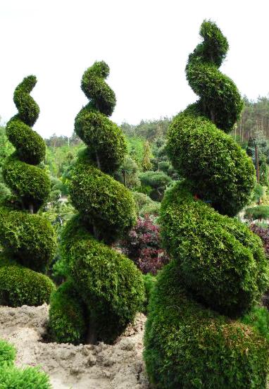 Thuja-occidentalis-Smaragd
