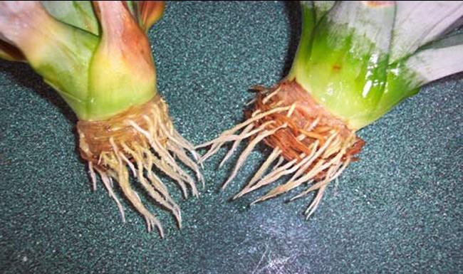 1364045036_kak-vyrastit-ananas-etap3-2