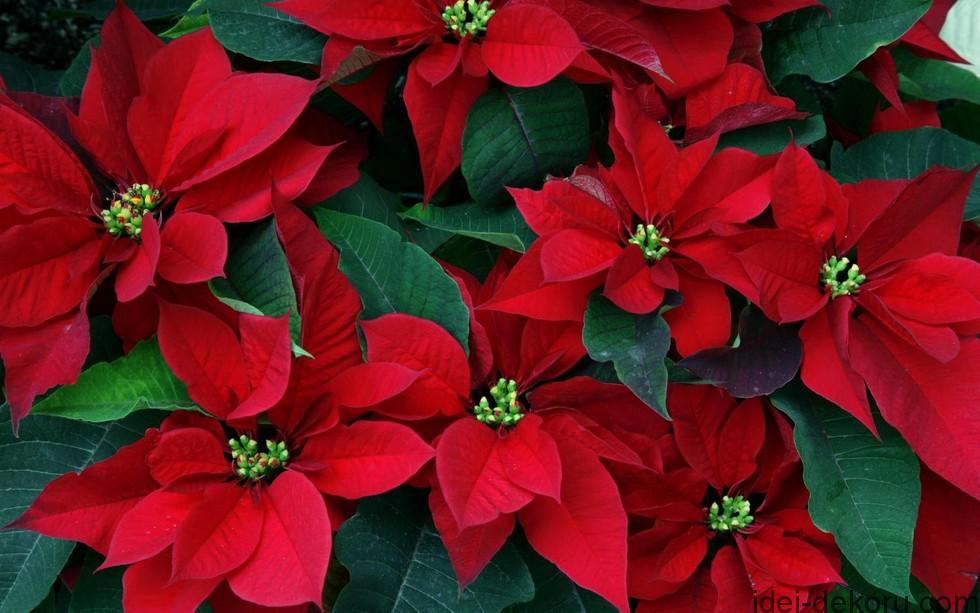 пуансетия-цветок