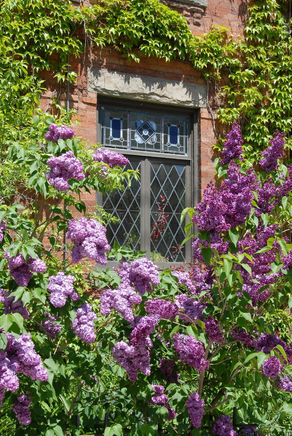 lilac-bush-house
