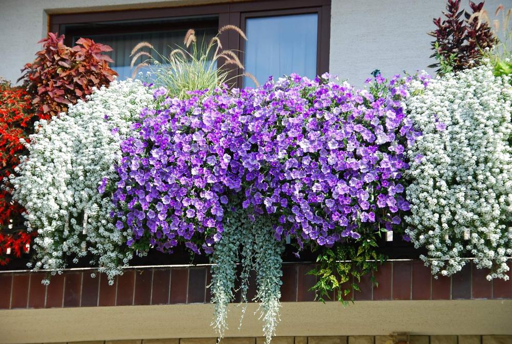 Какие цветы лучше посадить на балконе