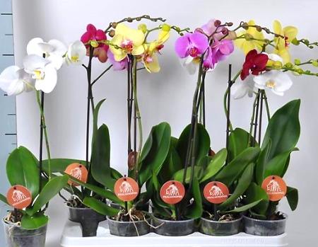 Орхидея-фаленопсис-уход