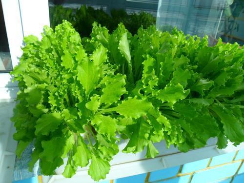На балконе листовой салат