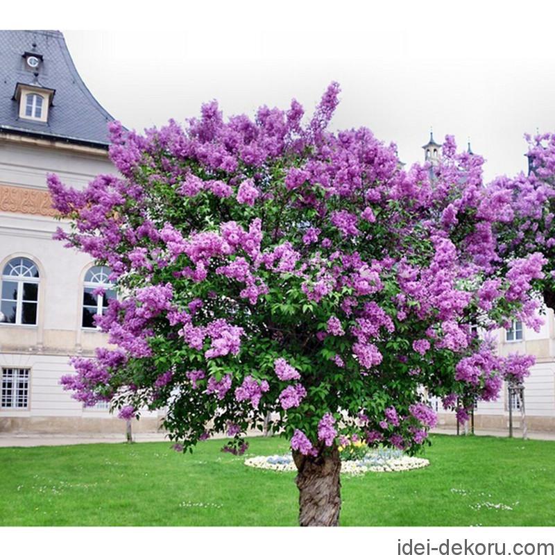 -font-b-Lilac-b-font-Flower-font-b-Tree-b-font-Seeds-20pcs-bag-Perennial