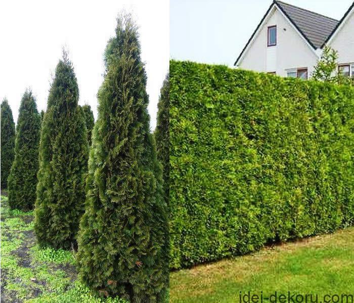 thuja-hedging