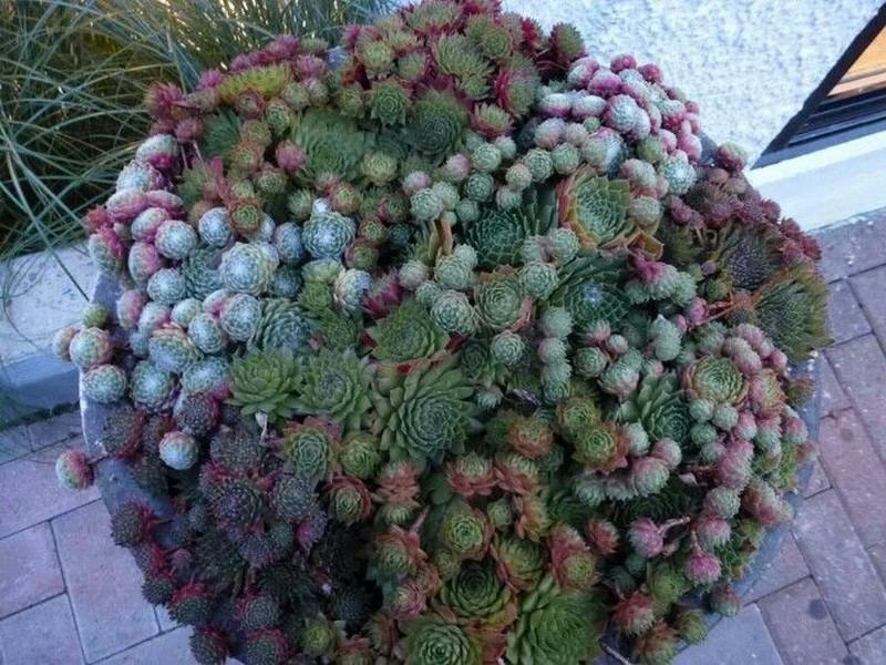 succulent-ball-07