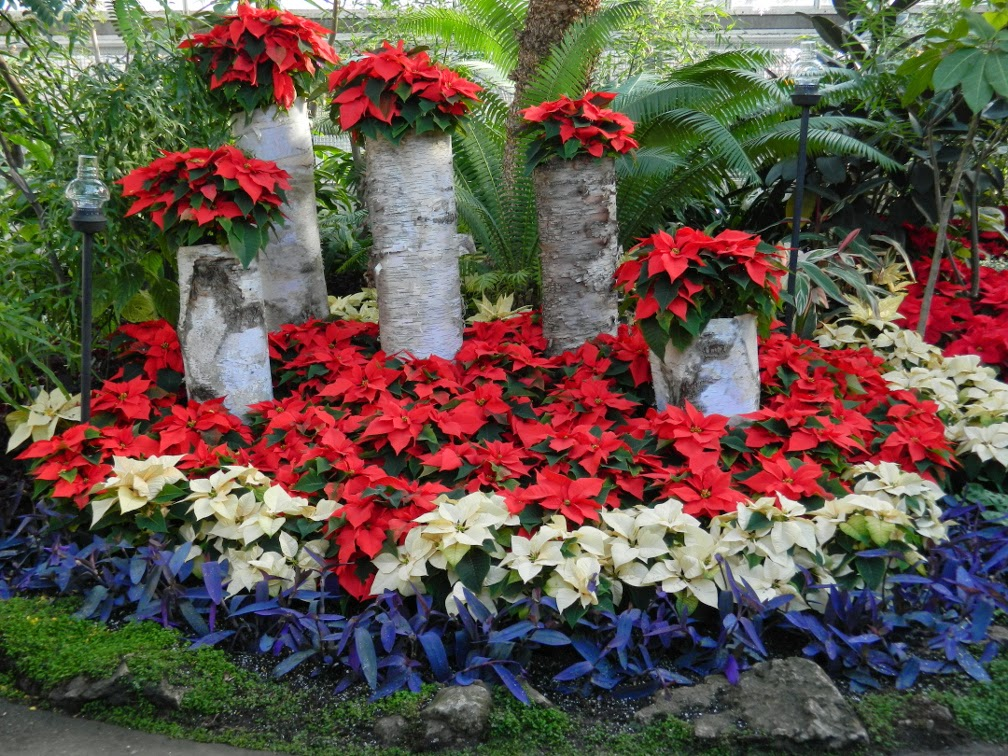 birch-logs-poinsettias-allan-gardens-conservatory-christmas-flower-show-2014-by-garden-muses-not-another-toronto-gardening-blog