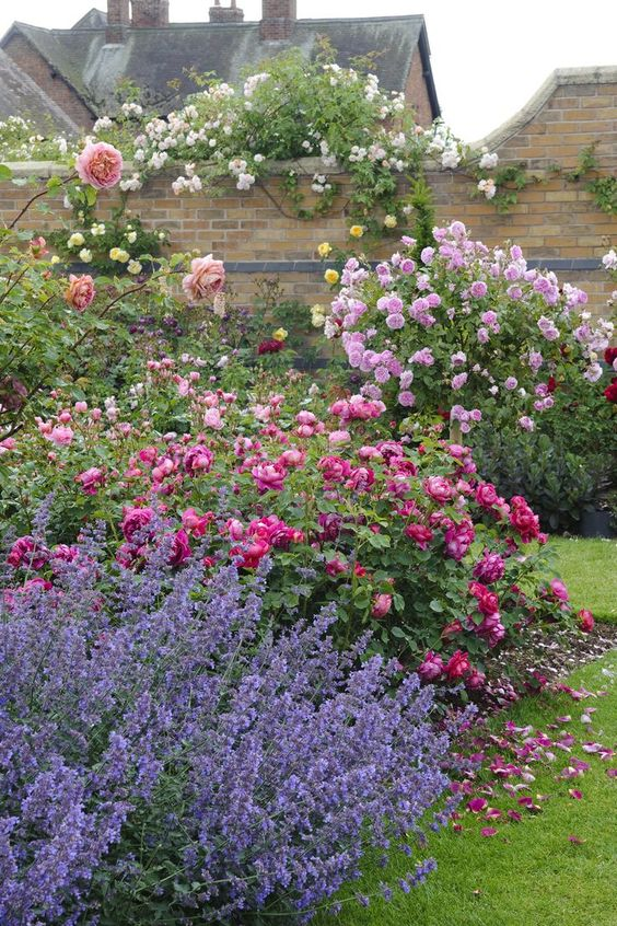 Rosa 'Lady of Megginch' and Nepeta 'Kit Kat'