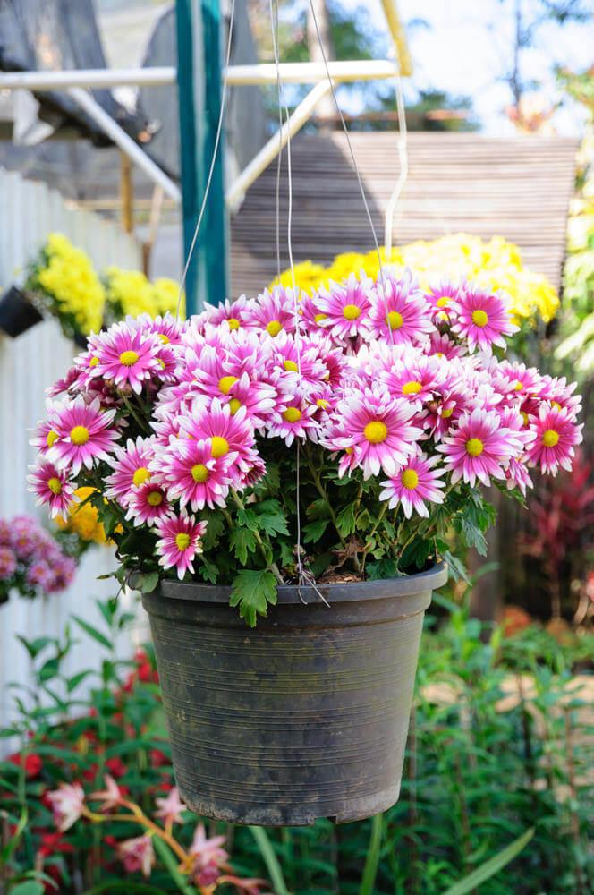 70Chrysanthemums