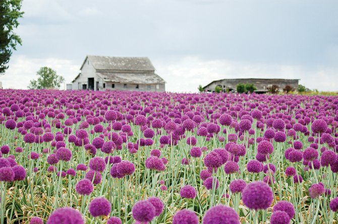 5-29_allium_field_t670