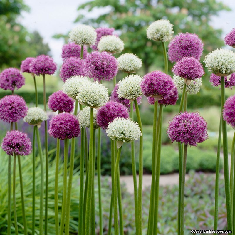 wild_about_allium_bulbs_mix